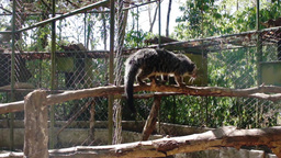 Palawan bear. Binturong. Philippines. The island of Palawan Footage