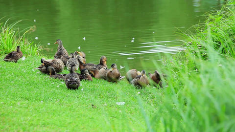 A Flock Of Ducks On The Lake stock footage