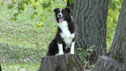 Dog breed Border Collie Footage