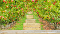 Apple Orchard stock footage