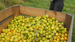 Picking Golden Delicious Apples stock footage