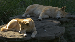 Two Australian Dingoes Resting stock footage