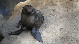 fur seal Footage