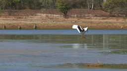 Black-necked Stork Dancing stock footage