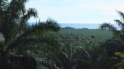 Png Palm Oil Plantation stock footage