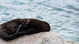 Seal Pup Resting stock footage