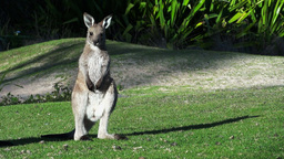 Young Eastern Grey Kangaroo stock footage