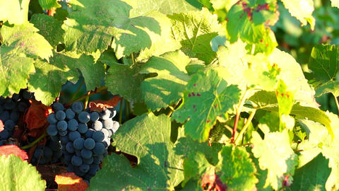 Bunches Of Red Grapes Hanging In Vineyard stock footage