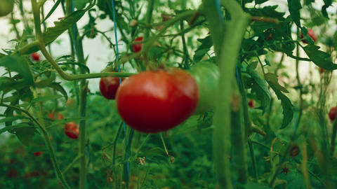 Pull Focus Shot Of Local Produce Organic Tomatoes With Vine And Foliage In Green stock footage