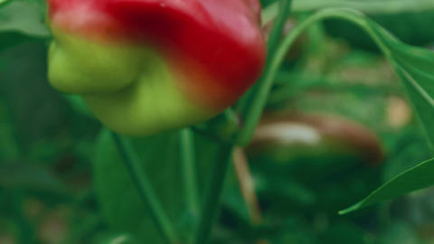 Slider Zoom Shot of Local Produce Organic Green and Red Peppers with Foliage_Fly Footage