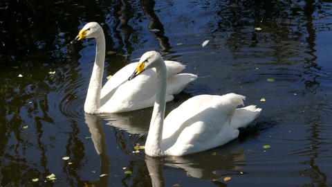 Pair Of Whooper Swan On Lake, 4k stock footage
