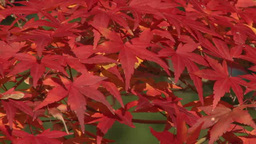 Zoom Of Autumn Leaves stock footage
