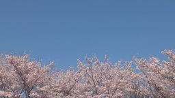 Blue Sky And Oriental Cherry stock footage