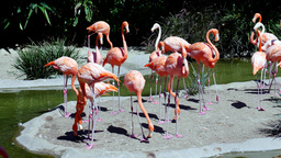 Group Of Pink Flamingos stock footage