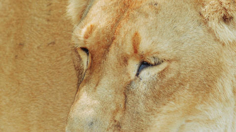 Lioness Ultra Close-up stock footage