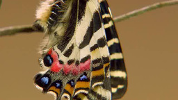 Beautiful Butterfly Moving Its Wings stock footage