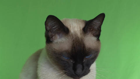 Siamese Cat Looking Around On Green Screen stock footage