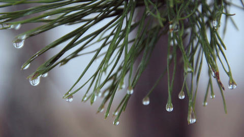 Water Drops On Pine Needles stock footage