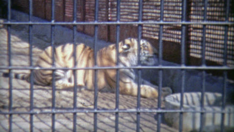 1973: Bengal tiger in confined zoo cell Footage