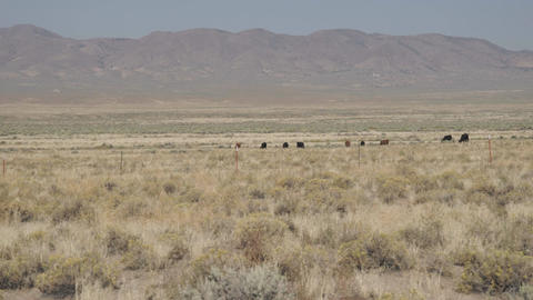 Zoom in on Free Range Cattle in the Desert Footage
