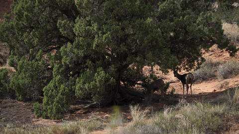 Deer Rest In The Shade At Arches National Park stock footage