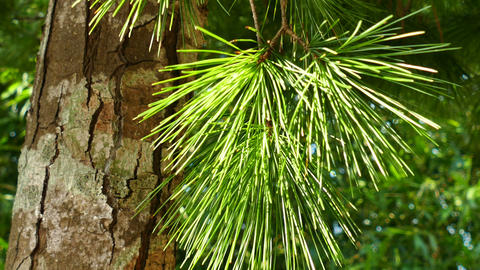 Close Up Of Pine Tree Leaves 1 stock footage
