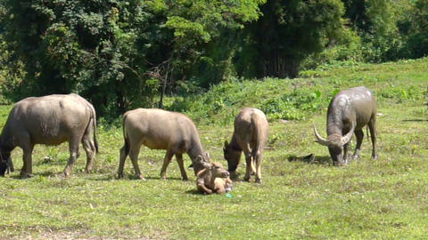 Group Of Water Buffalo In Rural Farm Of Thailand Southeast Asia stock footage
