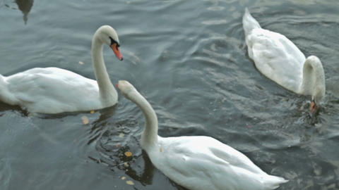 White Swan Swimming In Lake stock footage