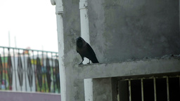 Carrion Crow On Concrete Pellet stock footage