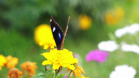 Closeup View Of Butterfly Perched On A Yellow Flower In The Garden stock footage