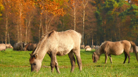Young Wild Horses Grazing In Autumn 11745 stock footage