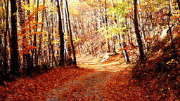 Path Through Forest, Copper Colored Tree, Falling Leaves stock footage