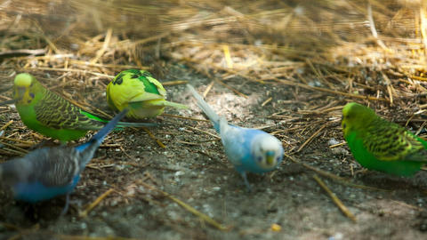 Colorful Parrots Pecking Feed stock footage