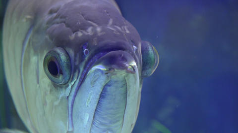 Big Gray Monster Fish in Aquarium. Blue background. 4K UltraHD, UHD Footage