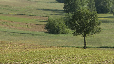 Green Field With A Lonely Tree In Rural Landscape In Summer stock footage