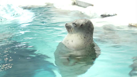 Seal Floating In Water And Ice At Aquarium stock footage