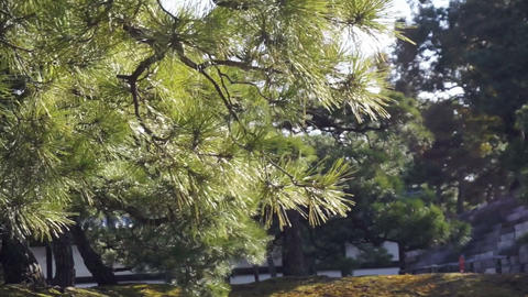 forest and evergreen pine tree moving in the wind Footage