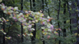 Autumn Forest With A Branch On Foreground, Rack Focus stock footage
