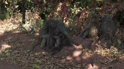 Group Of Olive Baboons stock footage