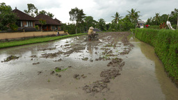 Peasant Use Simple Tractor To Plow Marshy Paddy Field, Balinese Rice Agriculture stock footage