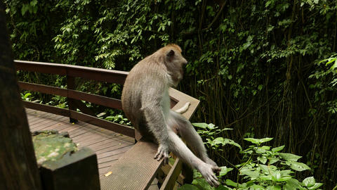 Monkey sitting on railing with legs dangling, relaxed scratch himself, closeup Footage