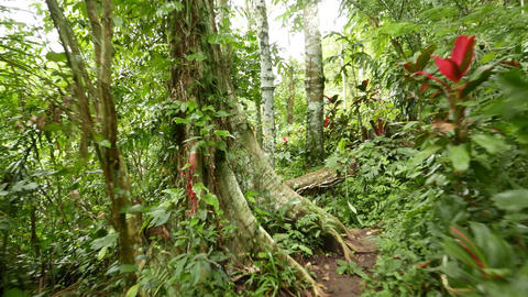 Move on path tropical forest, lush vegetation, rich green and few red leaves Footage