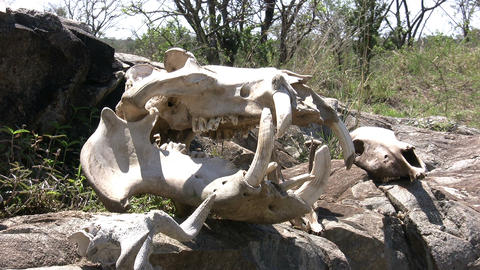 Dead Animals skull, Masai Mara Footage