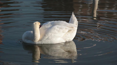 Beautiful White Swan Cleans Its Feathers stock footage