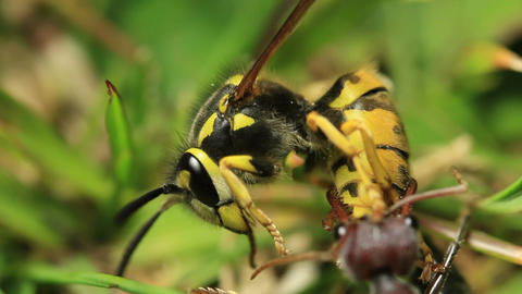European Wasp Vs Bull Ant 1 stock footage